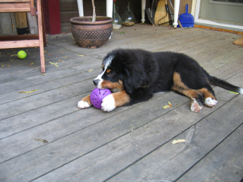 Puppy with treat toy