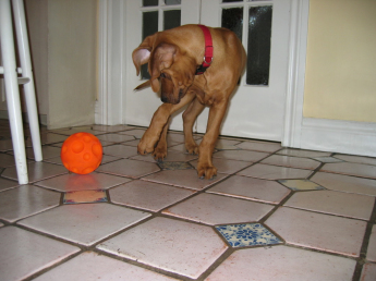 Puppy with treat ball