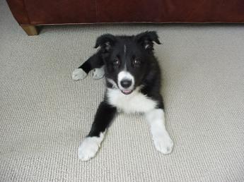New puppy - 8 weeks