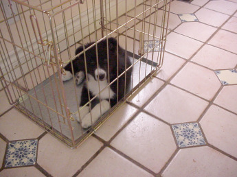 Eight-week-old Border Collie puppy lying quietly in metal crate with no cushions or blankets in it, as an example of positive dog training.