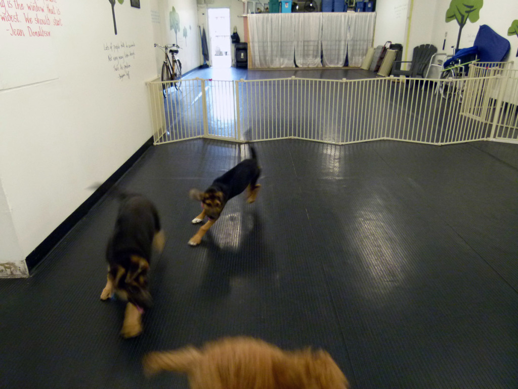 Puppies hone their social skills and hunting Dogs communicate largely through body language. techniques, during play time.