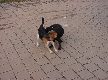 Twelve-week-old brown Lab meeting an adult Beagle while on leash. Both dogs are sniffing each other